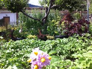 2014 07 02 veggie garden
